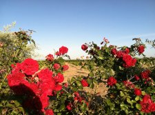 Temecua field with roses